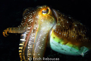 1.3 ft/40 cm cuttlefish. Almost too big for the 50mm macr... by Erich Reboucas 